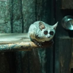 There are no images of Abubaker, but we assume he looks something like this bush baby, and not the one below. (Image: InfoCage)